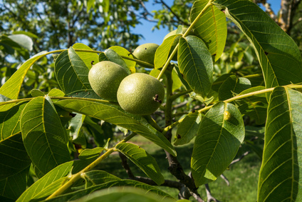 Grenoble Nut Extrakt