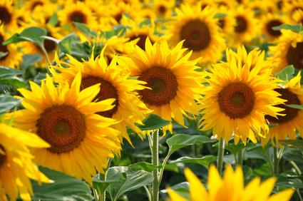 Sonnenblumenöl Naturkosmetik