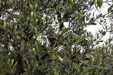Olivenöl Naturkosmetik