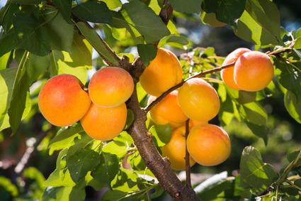 Aprikosenöl Naturkosmetik