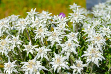 Edelweiss Extrakt Kosmetik